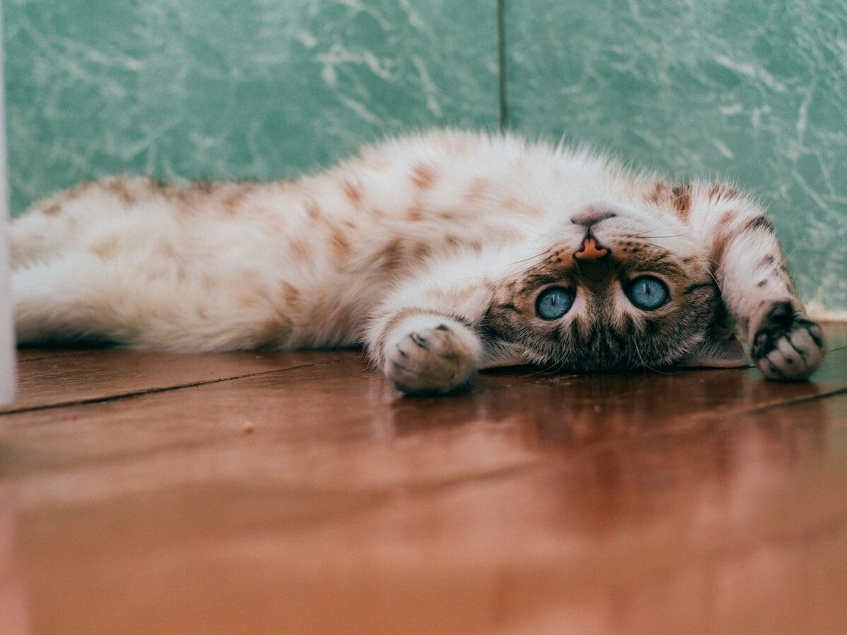 Eine Katze liegt auf dem Rücken